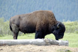 Yellowstone National Park: American Bison 090528