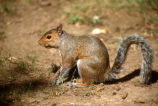 Eastern gray squirrels: growls 091002