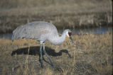 Sandhill Crane and geese in the Hayden Valley of Yellowstone National Park 090529