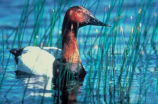 Canvasback (090328-995)