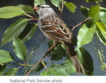 White-crowned Sparrow sub song development phase