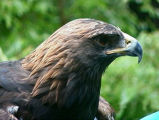 Golden Eagle juvenile vocalizations (video)