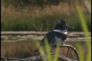 Kingfisher call 2 (video)