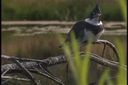 Kingfisher call 3 (video)