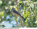 Western Kingbird vocalizing (video) 1