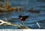 Red-winged Blackbird vocalization (video)