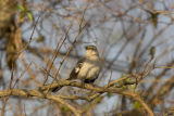 Northern Mockingbird vocalizations (video)