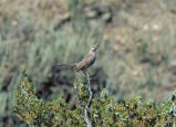 Sage Thrasher 3 vocalizations (video)