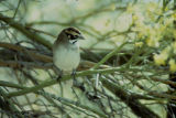 Lark Sparrow song (video)