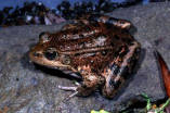 California Red-legged Frog (night)