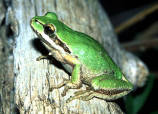 Pacific chorus frogs in Markworth State Forest in western Washington 100304 excerpt