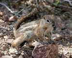 Harris's Antelope Squirrel (captive)
