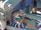Ringtail eating (captive)