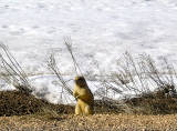Utah Prairie Dog call 2