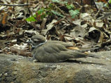 National Park Service audio recording - Killdeer