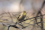 American Goldfinch calls