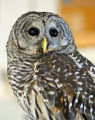 Barred Owl catching mouse 1