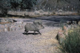 Collared peccary nuzzles microphone (100424)
