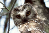 Northern Saw-whet Owl distant cries (100221)