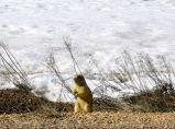 Utah prairie dogs alarm call response to diving hawk (100409)