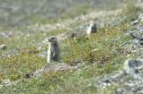 Arctic Ground Squirrel 1
