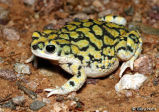 Sonoran Green Toad 2