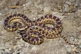 Pacific Gophersnake 1