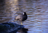 American Coot pops (100515)