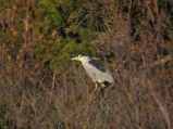 Black-crowned Night-Heron flight calls (100515)