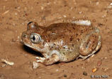 New Mexico Spadefoot 6