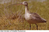 Long-billed Curlew 100604-0630