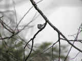 Blue-gray Gnatcatcher 100607-1006