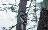 Boreal Owl in Washington state
