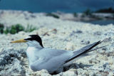 Least terns with takeoff