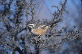 Cactus Wren on windy day 100408