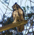 Great Horned Owl hoots and screeches Orcas Island Washington 110128