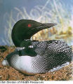 Common Loon call