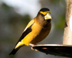 Evening Grosbeak 1