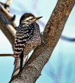 Ladder-backed Woodpecker drum