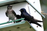 Purple Martin west
