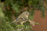 Ruby-crowned Kinglet 1