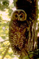 Mexican Spotted Owl Utah