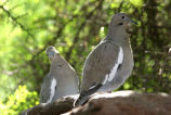 White-winged Dove, Texas