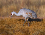 Arctic National Wildlife Refuge - Beaufort Lagoon - Sandhill Cranes 1