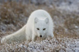 Arctic National Wildlife Refuge - Beaufort Lagoon - Arctic Fox (060604-61)