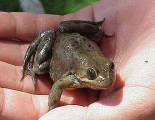 Columbia Spotted Frog calls in air (Utah) April 2005