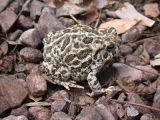 Great Plains Toad 1
