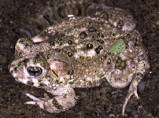 Arroyo Toad and Pacific treefrogs