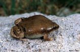 Great Plains Narrowmouth Toad 1