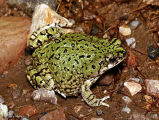 Western green toads 1
